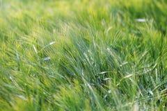 Зеленая предпосылка земледелия пшеничного поля стоковые фото