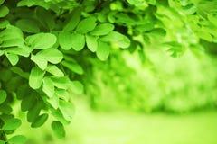 Зеленая предпосылка природы с dandling завтрак-обедами Стоковое фото RF