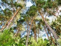 Зеленая предпосылка соснового леса в солнечном дне Стоковые Фото