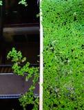 Зеленая предпосылка с duckweed стоковые фотографии rf