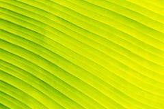 Зеленая предпосылка текстуры лист банана для шаблона вебсайта, красоты весны, окружающей среды и дизайна концепции экологичности Стоковые Изображения