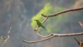 Зеленая птица пчел-едока в свете утра на ветви дерева Стоковые Фото