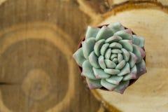 Зеленая пустыня подняла, суккулентный цветок, против предпосылки деревянных отрезков, текстурированная запачканная предпосылка стоковое изображение