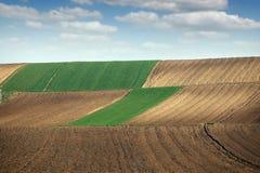 Зеленая пшеница и вспаханные поля Стоковое Изображение