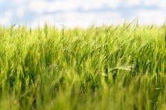 зеленая пшеница лета Стоковое Изображение RF
