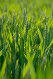 зеленая пшеница Стоковое Изображение