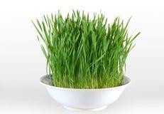 зеленая пшеница Стоковые Фотографии RF