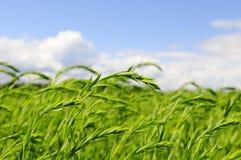 зеленая пшеница Стоковая Фотография