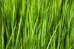 Зеленая рисовая посадка Стоковое фото RF