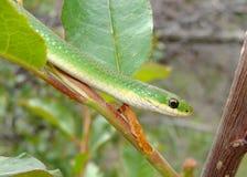 зеленая ровная змейка Стоковые Изображения RF