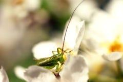 Зеленая саранча grasshoper на песке Стоковые Изображения