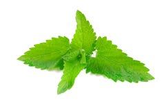 Зеленая свежая мята Стоковые Фото