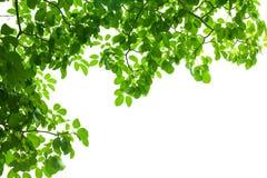 Зеленая свежая рамка листьев Стоковое Изображение RF