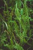 Зеленая свежая трава в росе утра с естественной предпосылкой Природа влюбленности, стиль экологичности Стоковая Фотография
