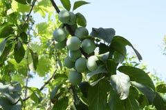 Зеленая слива с ветвями и листьями и плодами стоковое фото