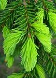 зеленая сосенка игл Стоковые Изображения RF