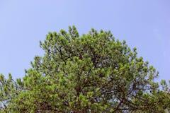 Зеленая сосна в лесе Стоковое фото RF