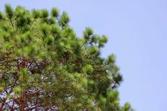 Зеленая сосна в лесе Стоковые Фото