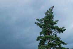 Зеленая сосна под голубым небом Стоковое Фото