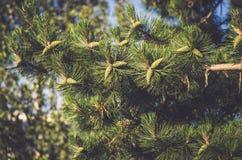 Зеленая сосна с конусами Стоковое Фото