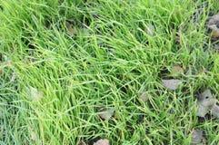 Зеленая сочная текстура травы Стоковое Изображение RF