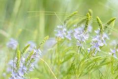 Зеленая сочная трава и gentle голубые цветки в поле на sunn Стоковое Фото