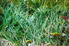Зеленая сочная трава с падениями росы на зоре Стоковые Изображения RF