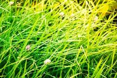 Зеленая сочная трава с падениями росы на зоре Стоковая Фотография