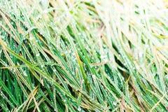 Зеленая сочная трава с падениями росы на зоре Стоковые Изображения