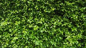 Зеленая стена завода лист Стоковая Фотография