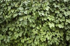 зеленая стена листьев стоковая фотография rf