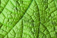зеленая структура листьев Стоковая Фотография