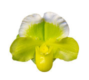 зеленая тапочка орхидеи Стоковые Фотографии RF