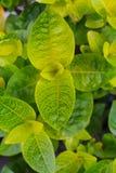 Зеленая текстура листвы, большая предпосылка природы лист стоковое фото