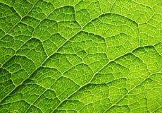 зеленая текстура листьев Стоковые Изображения RF