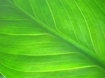 зеленая текстура макроса листьев Стоковое Фото
