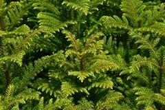 Зеленая текстура молодых сосен Стоковые Изображения RF
