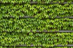 зеленая текстура плюща Стоковые Фото