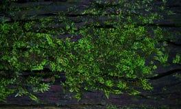 Зеленая текстура предпосылки лишайника мха красивая в природе с co Стоковая Фотография