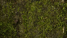 Зеленая текстура предпосылки мха красивая в природе стоковые изображения