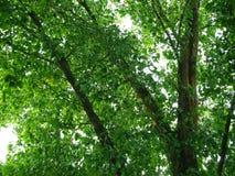 Зеленая тень дерева лист с распространенным стволом дерева разветвляет Стоковые Изображения RF