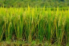 Зеленая терраса поля риса на плантации в разнообразиях риса фермы внутри стоковое изображение