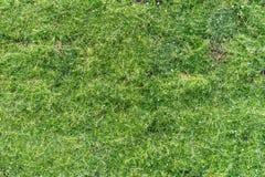 Зеленая трава и малые белые цветки как естественная предпосылка стоковые изображения
