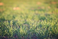 Зеленая трава на конспекте предпосылки захода солнца Стоковое Изображение RF