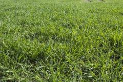 Зеленая трава на лужке Стоковое фото RF