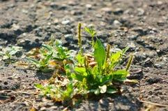 Зеленая трава пусканная ростии через серый асфальт Стоковое Изображение RF