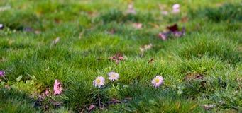 Зеленая трава с белыми маргаритками стоковое фото rf