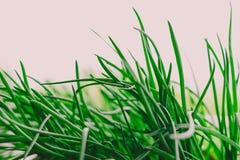 Зеленая трава, chives изолированные на белой предпосылке стоковое фото