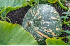 Зеленая тыква с оранжевыми нашивками растет в поле или саде Русский продукт hommade стоковое фото rf
