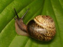 зеленая улитка листьев Стоковые Фотографии RF